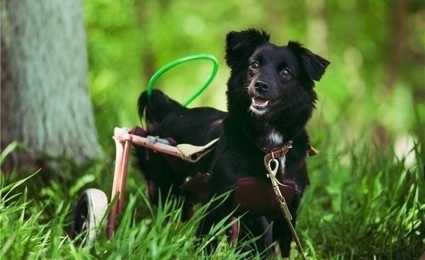 собака-инвалид, собака в инвалидной коляске, собака в Приморье, фонд Друг, клиника Дар, благотворительность