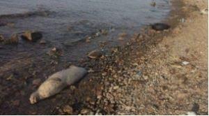 остров Русский, белуха в Приморье, мертвая белуха, нашли на берегу